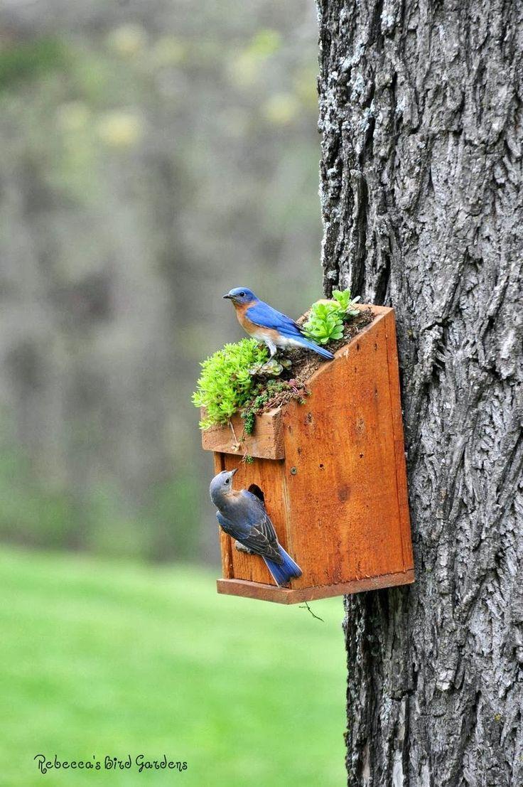 the garden-roof coop: Bluebirds 2013