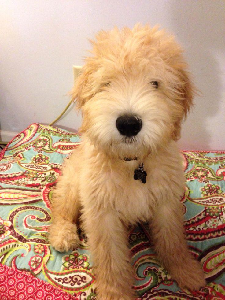 Wheaten Terrier Rescue Dogs