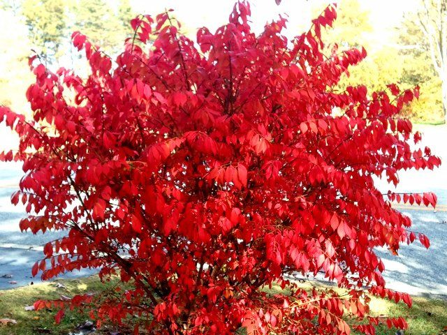 Winged Burning Bush: zone 3, full sun, green foliage in summer brilliant red fall color, h:5-10' w:5-10'
