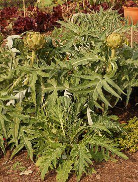 Artichoke Cynara cardunculus Plants 2000px.jpg