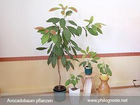 Avocadobaum selber pflanzen ziehen Anleitung