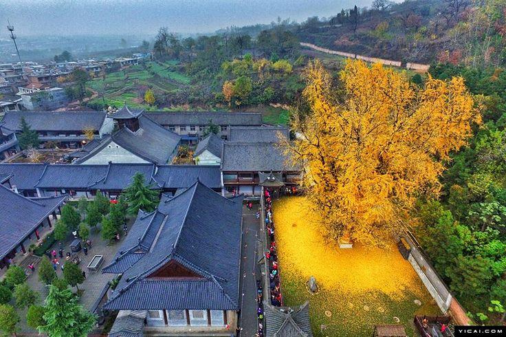 Un albero di Ginkgo antico 1.400 anni inonda un tempio buddista di giallo