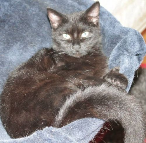 Noirot Noirot attend une nouvelle famille ...  Petit mâle âgé de 5-6 mois , adorable et câlin ! LISA (Ligue dans l'Intérêt de la Société et de l'Animal)(Ardennes) 03.24.41.74.51