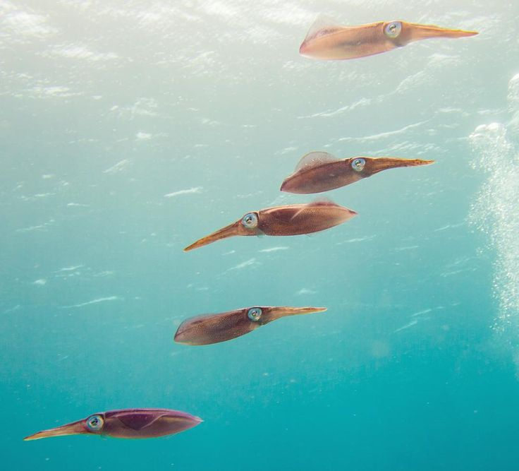 Caribbean reef squid by stoneham_w