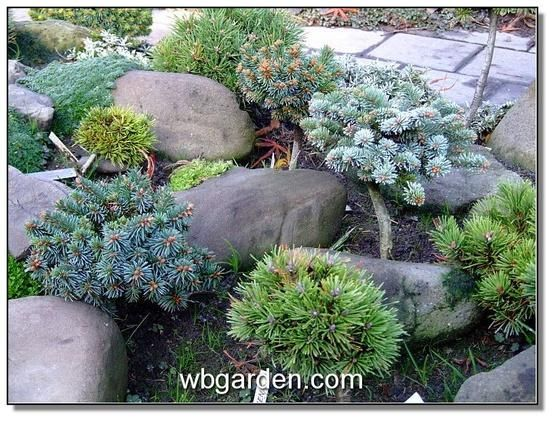 Conifer Garden Ideas conifer garden foxhollow dorset england Dwarf Conifer Rock Garden