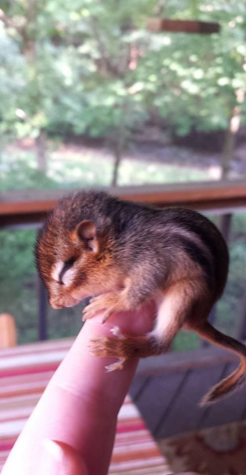 Baby Chipmunk! OK, all together now . . .  awwwwww