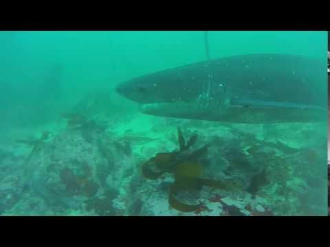 Seven Gill Cow Shark Cruising By