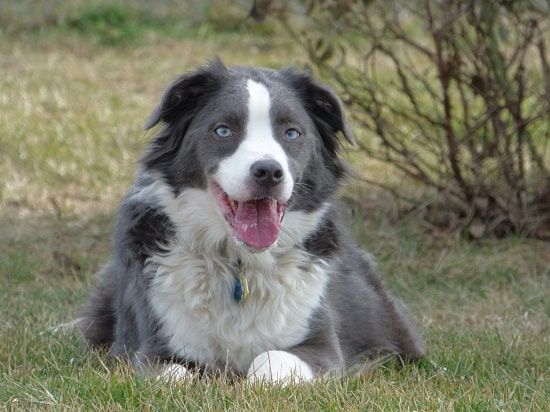 Are You Obsessed With Dogs With Blue Eyes Border Collie Blue