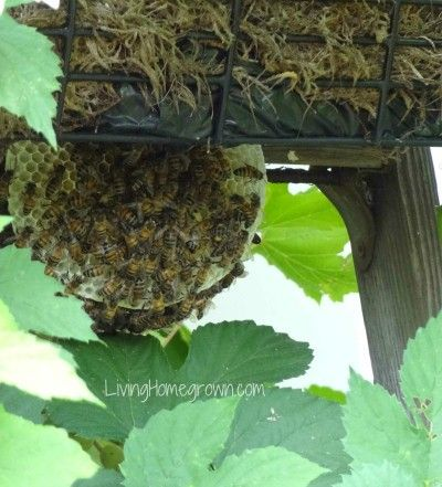 How to handle a feral bee swarm in your garden! This site has SO MUCH information, I have been learning from it, thanks!