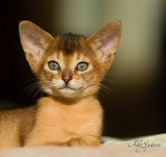 abyssinian cat | Abyssinian cats by AbySphere