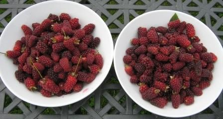 tayberry plant - Google Search