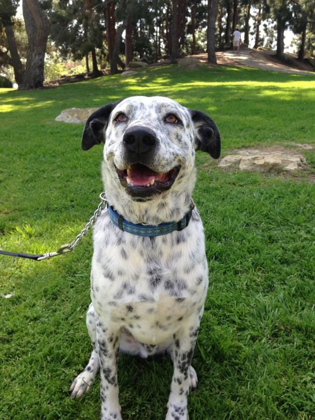 Dalmatian Rescue of Southern California, Inc. Newport Beach. My name is Topper! I'm a handsome dalmatian mix boy, probably mixed with lab, about 5 yrs old, who turned up stray in the high kill Devore shelter. Luckily for me, Rescue came and got me out of there before something bad happened. Whew!. I'm a friendly boy, good with other dogs, even small ones, but probably not cats, (I always want to chase them when I see them on my walks!). I am easy to walk on leash & love to ride in the car!