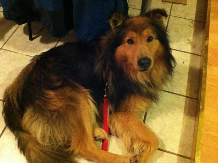 Meet Rambo, a Petfinder adoptable Collie Dog | Vaudreuil-Dorion, QC | Rambo is an adult collie Shepard mix. He is a very calm natured dog and is gentle with people,...