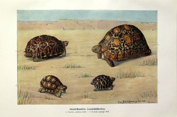 Print of South African TURTLES reptiles, 1920 vintage TORTOISES color engraving, sea turtle reptile lithograph plate zoology.  This original