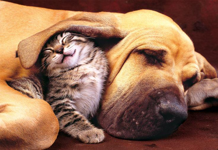 ¿Son los perros y los gatos enemigos irreconciliables? | Puzzlepassion