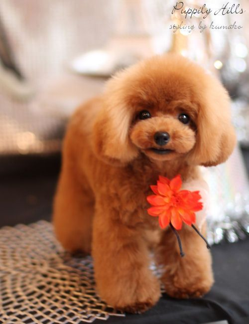 Apricot #Poodles #Dogs #Puppy