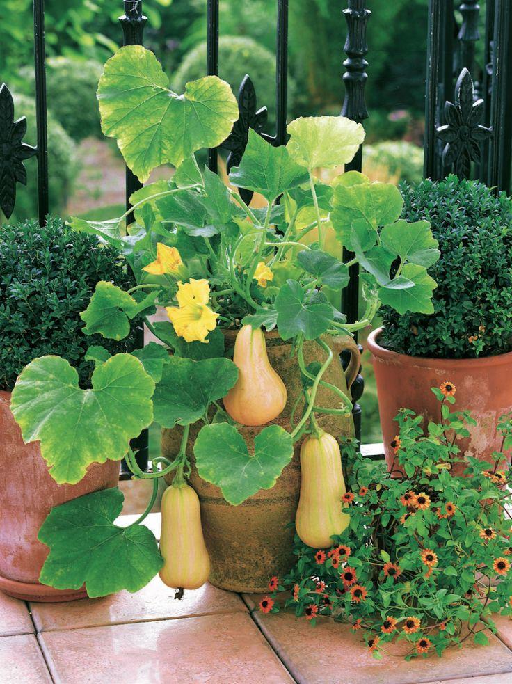 Kürbisse Anpflanzen