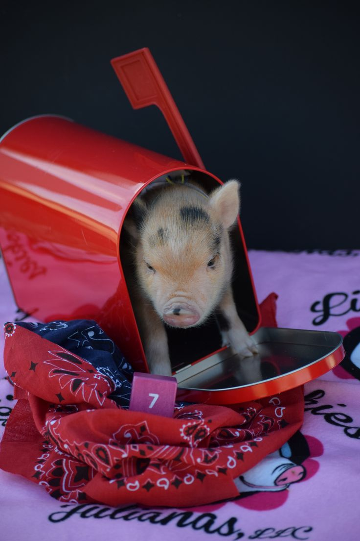 Potty trained mini pigs are smarter than your dog and do tricks!