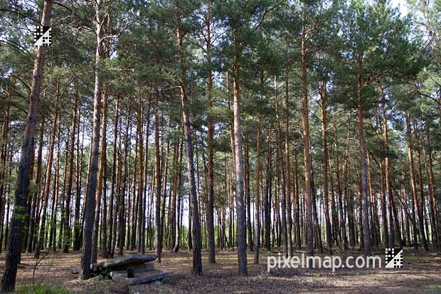 red forest chernobyl | photo: view of the radioactive red forest near Chernobyl which has ...