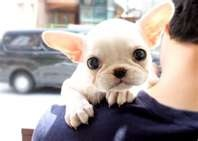 Happy Tuesday from a really cute miniature french bulldog