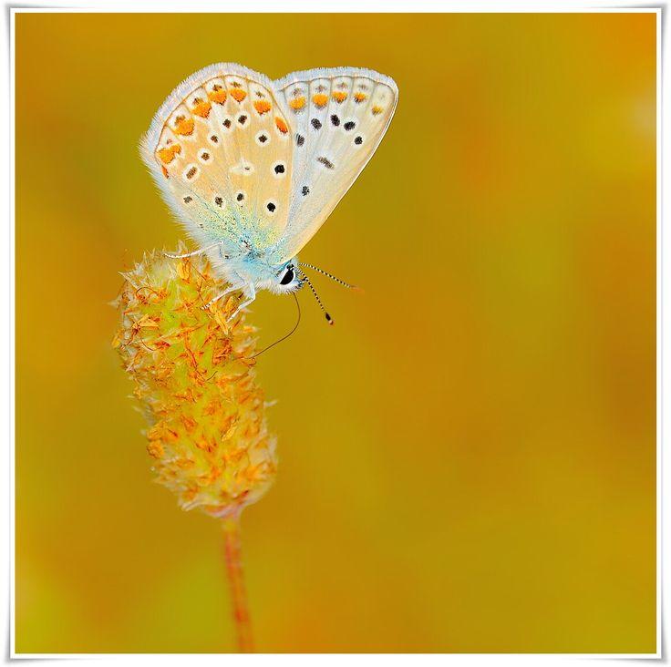 Polyommatus Instagram: gregsobieraj_photography