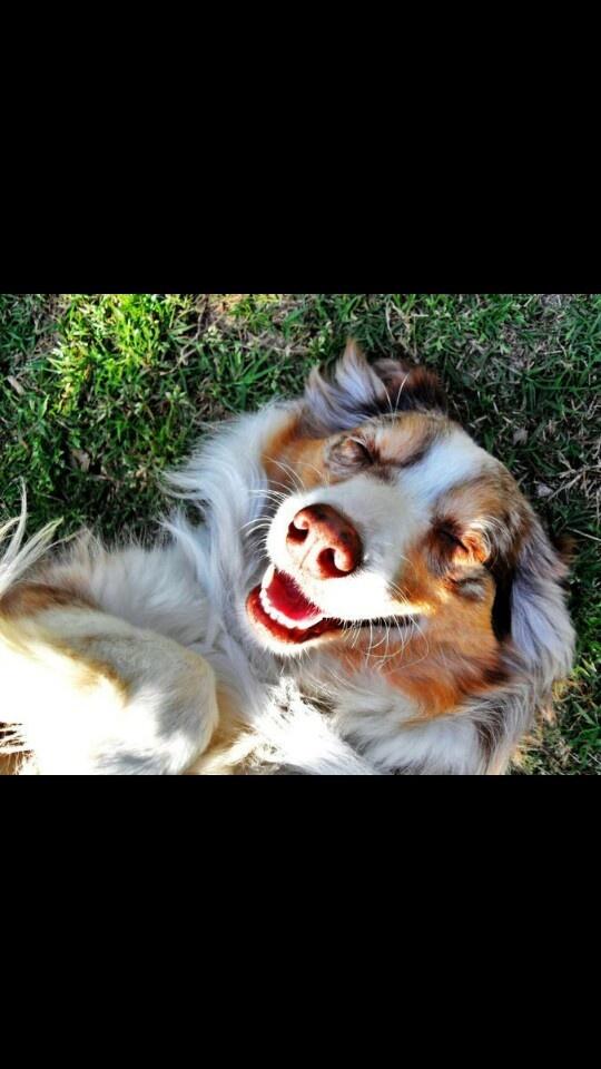 8858 Best Australian Shepherd Images On Pinterest