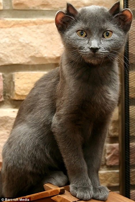 Yes - this is a real cat! Meet Yoda the cat with four ears ~ Barcroft Media Photo Credit The article reads: If Batman had a cat, it would probably look something like this. http://www.dailymail.co.uk/news/article-1046684/Meet-Yoda-cat-FOUR-ears.html