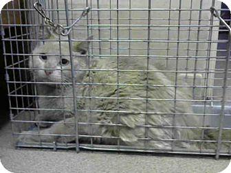 PLEASE SAVE ME, I DONT WANT TO DIE♥♥♥♥♥ Pasadena, CA - Siamese. Meet A378250, a cat for adoption. http://www.adoptapet.com/pet/13022703-pasadena-california-cat
