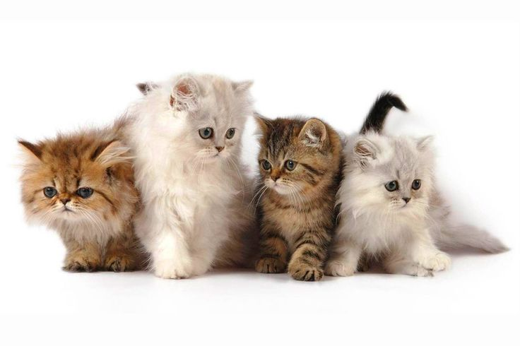 Persian Cat Rescue and Its Care