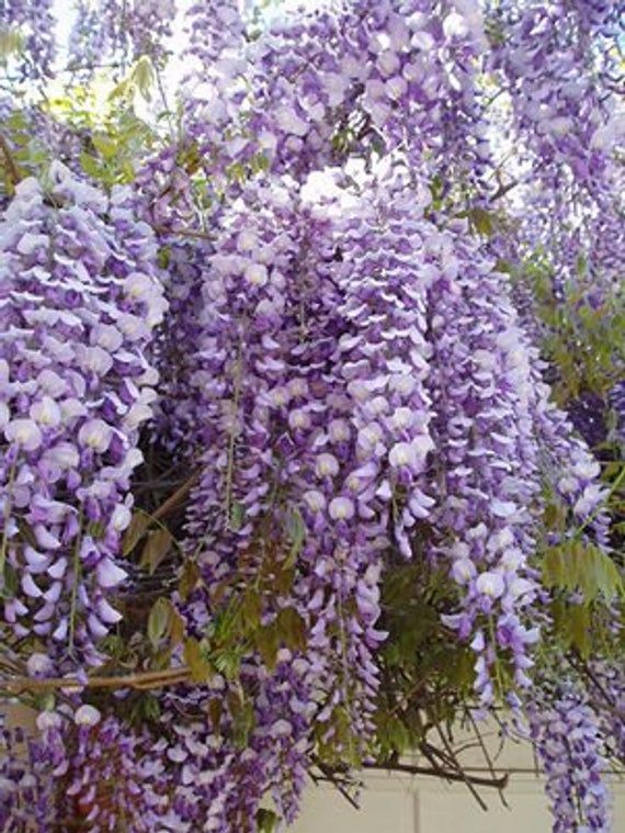 Chinese Wisteria Wisteria Sinensis Live Plants With Good Root Fresh From Our Garden You Will Receive 1 Plant Wisteria Plant Chinese Wisteria Purple Wisteria