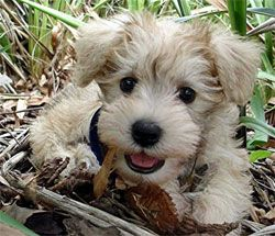 not sure what breed, but adorable..might be a schnoodle.