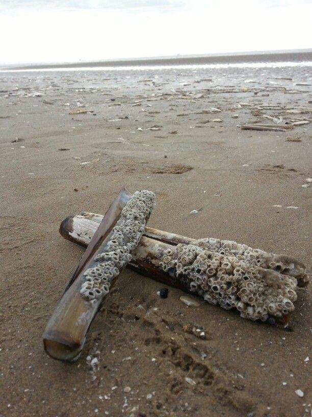 Barnacle covered Razor Clam shells.  Formby beach, UK.