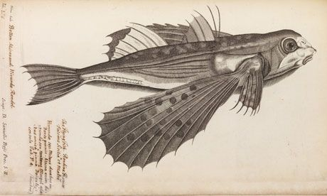 An engraving of a flying fish, one of a set from Historia Piscium. Photograph: Richard Valencia/The Royal Society