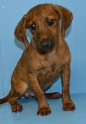 #GEORGIA #URGENT ~ Ronald is an #adoptable Beagle Hound mix #puppy dog in #Pembroke in need of a loving #adopter or receiving #rescue at BRYAN COUNTY ANIMAL CONTROL - PEMBROKE BRANCH 144 Industrial Blvd #WestPembroke GA 31321 Ph 912-653-3816