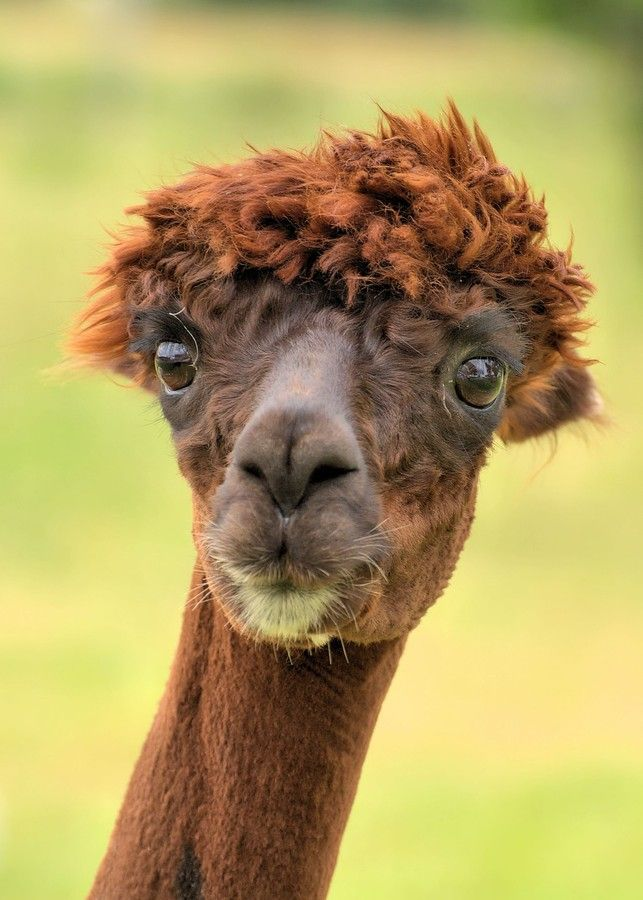 Just sheared alpaca  I have had this same look on my face after a bad haircut lol