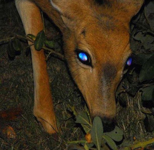 Tapetum lucidum eyeshine in a deer. The tapetum lucidum is a layer of specially adapted cells behind the retina that reflect light.