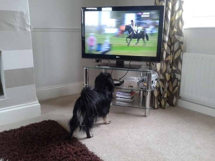#MyDogLoves watching eventing and loves Countryfile #Bestinthecountry