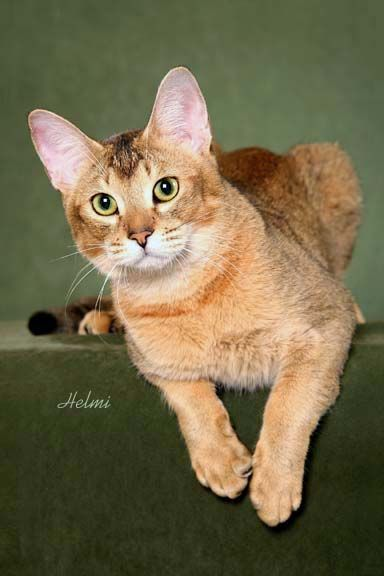 chausie cats | chausie cat