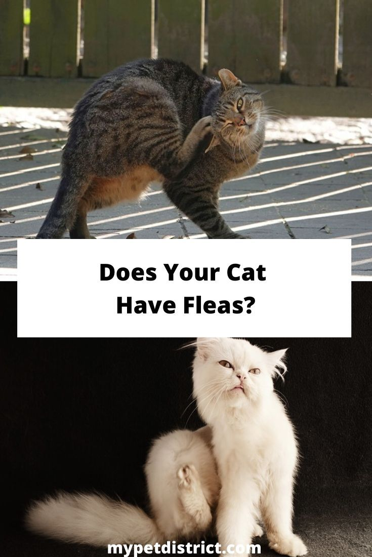 Can You Get Fleas From A Cat Can You Use Dog Flea Shampoo On Cats The Answer Will Surprise You In 2020 Flea Shampoo For Dogs Cat Has Fleas Flea Shampoo