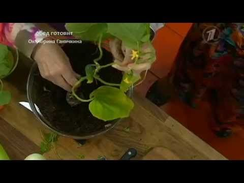 Уникальный способ выращивания рассады огурцов от Октябрины Ганичкиной - YouTube — Яндекс.Видео