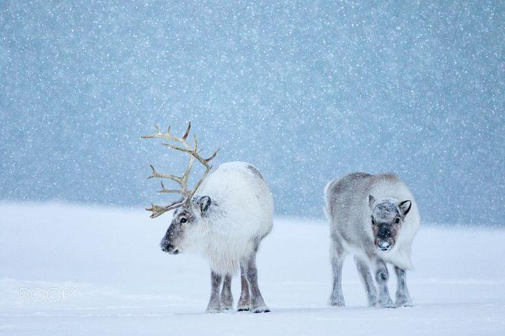 Svalbard reindeer... by Sam Mannaerts on 500px