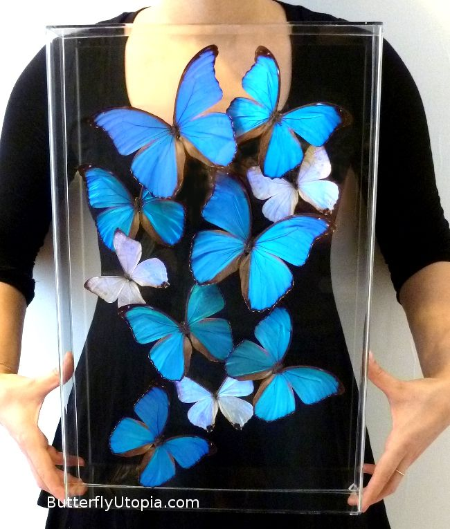 Framed Blue Morphos (Blue Butterflies)
