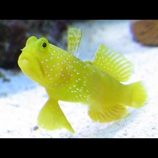 Yellow Watchman Goby Fish (Cryptocentrus cinctus)
