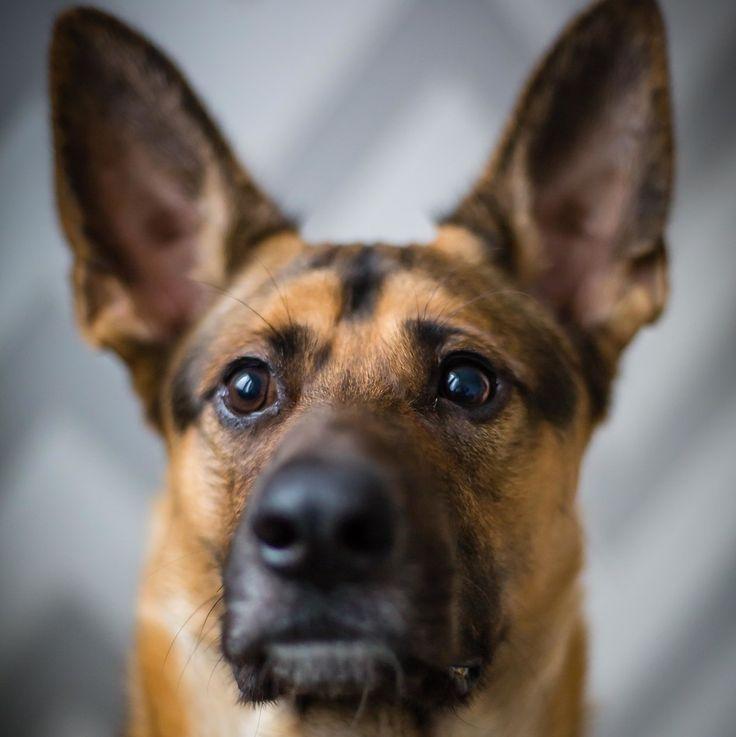 Niezwykłe Uszy 🐶 Amazing Ears 🐾 #dog #dogs #dogoninstagram #dogoninsta #dogphotographer #dogphotography #dogphoto #animal #animals #dogphotooftheday #hund #hundefotografie #hundefoto #pies #zwierzęta