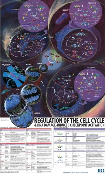 Regulation of the Cell Cycle and DNA Damage-Induced | Repinned by @keilonegordon