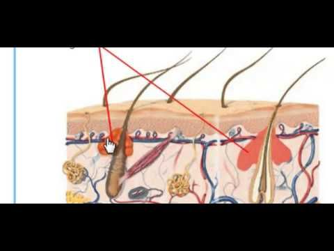 The Human Integumentary System