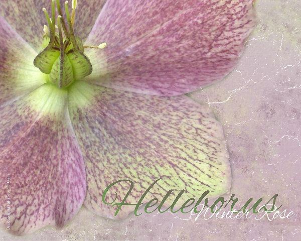 Hellebore/Winter Rose - wallpaper by starsista, via Flickr