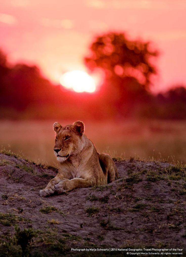 Lioness (Panthera leo) at sunset, Vumbura Concession, Okavango Delta, Botswana, Africa by Marja Schwartz