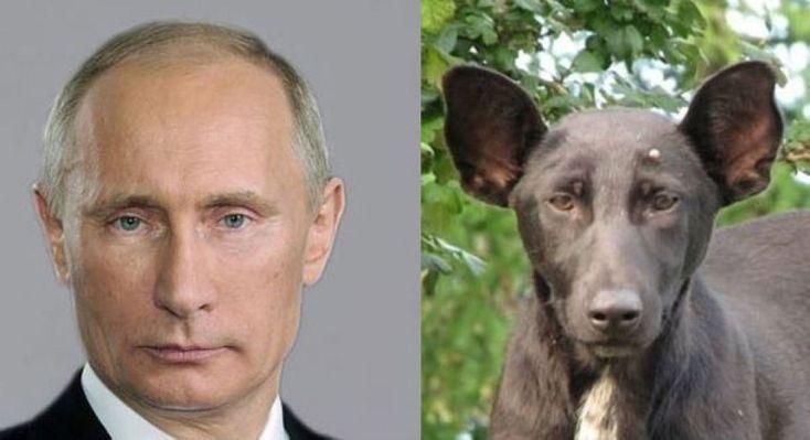 E' stato avvistato nel centro di Kiev e segnalato dal sito russo obozrevatel.com, un cane dall'incredibile somiglianza con Vladimir Putin. L'animale, un mix tra uno Staffordshire terrier e un pastore tedesco, è stato definito dalla stampa russa - primo tra tutti dal Moscow Times - un cane dal