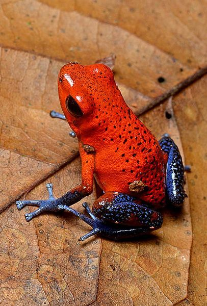 Strawberry dart frog ~ By Geoff Gallice